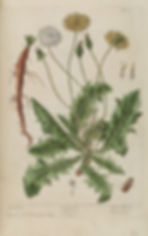 Dandelion flower drawing by Elizabeth Blackwell