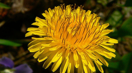 Dandelion flower by Greg Hume