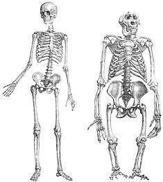 hominines.jpg