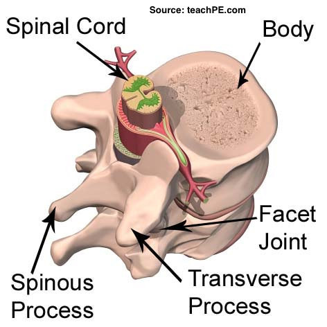 anatomical illustration of the spine displaying spinal cord, spinous process, facet joint and transverse process