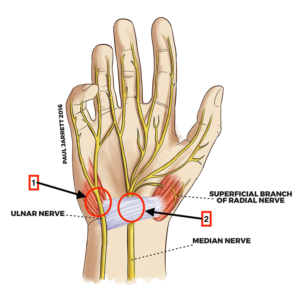 Anatomical illustration of a hand showing the ulnar nerve and the median nerve