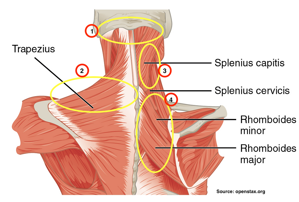 Anatomical illustration of someone's back showing muscles