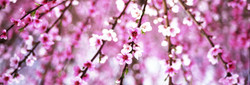 Цветение персиков