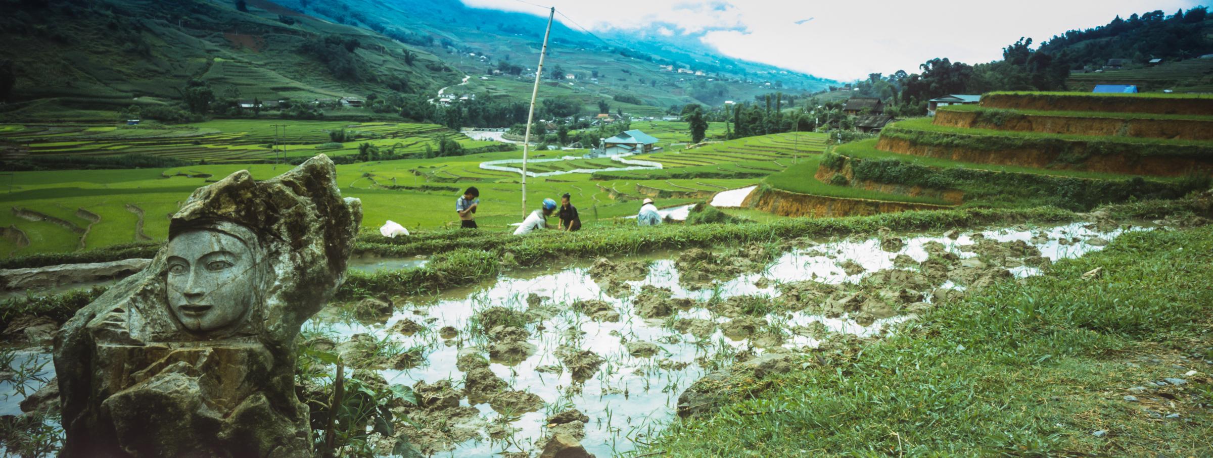 Вьетнам. Рисовые поля.