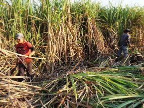 Cañeros jujeños advierten retroceso en precio de azúcar a poco de iniciar la zafra