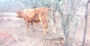 #JVG Esclarecieron el robo de ganado a una empresa agropecuaria