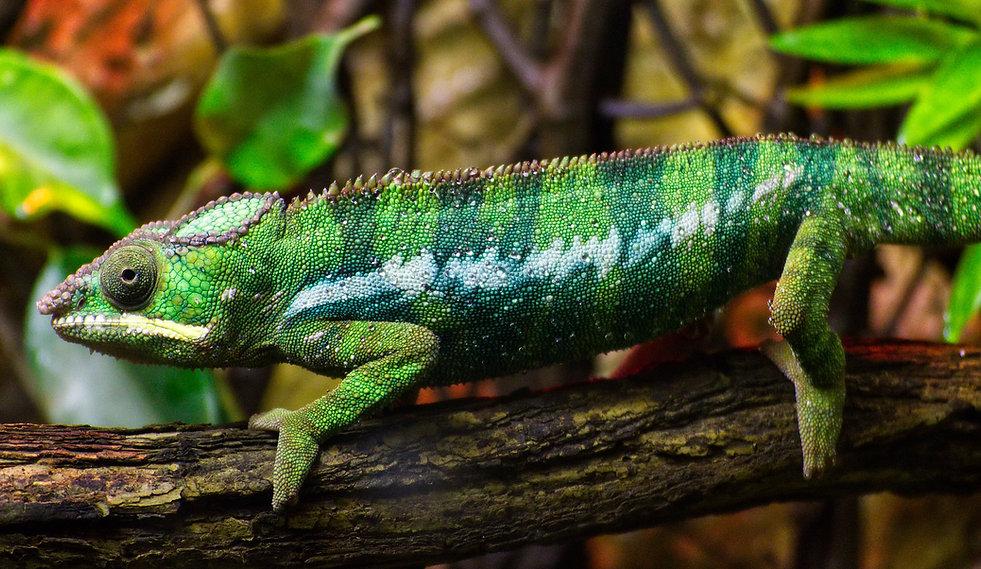 chameleon-3775132_1920.jpg