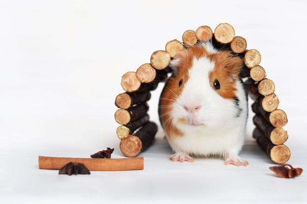 guinea-pig-1803362.jpg