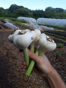 Garlic fresh.jpg