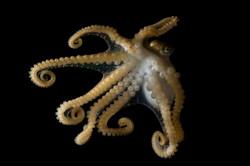 Octopus hawaiiensis
