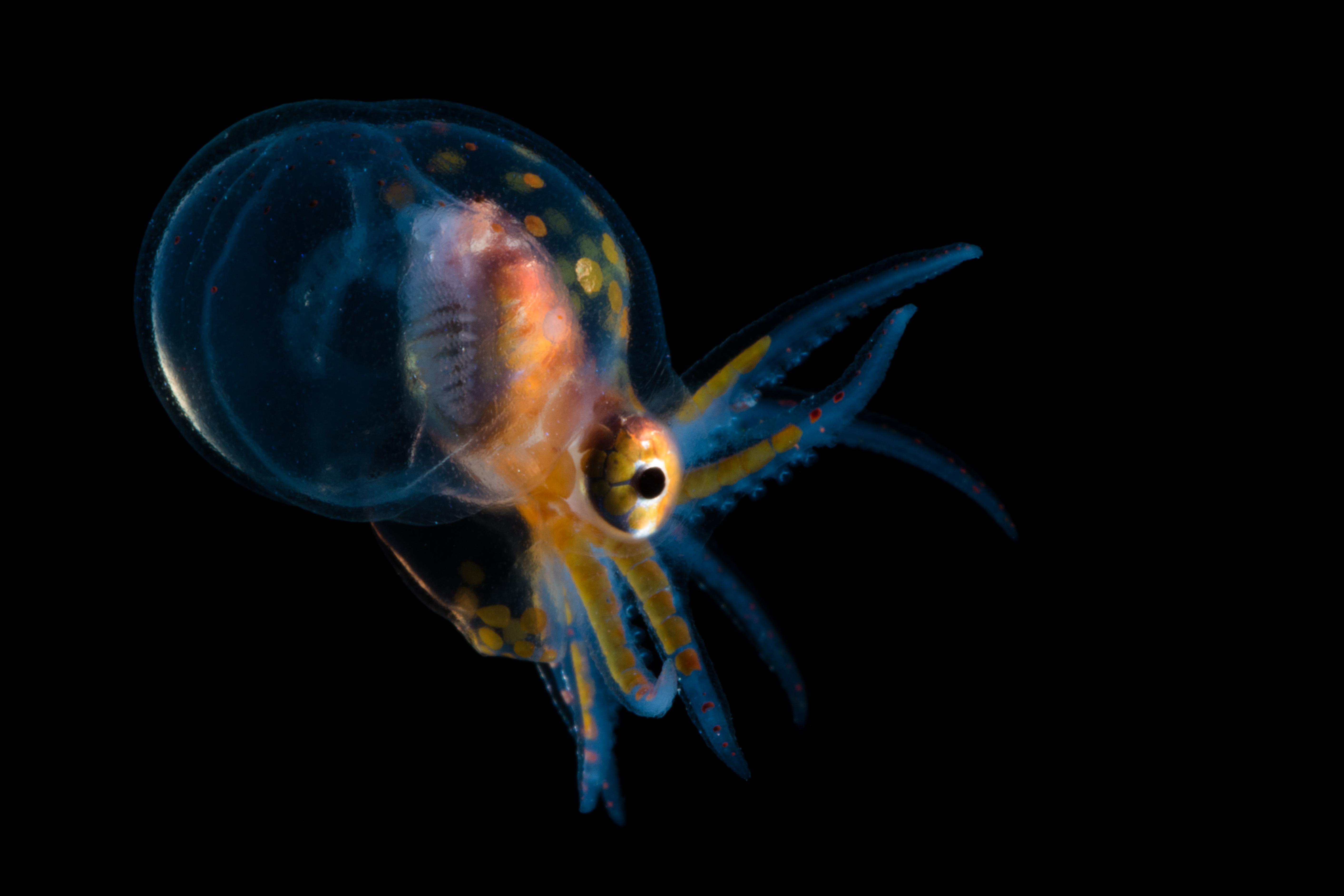 Octopus sp.