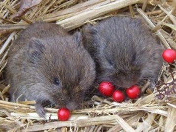 Prairie voles