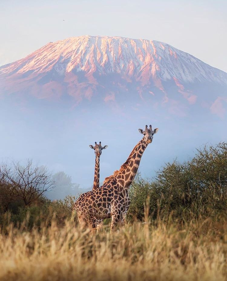Two giraffes in the foreground with the Kili in the background. This picture was taken in Kenya by @davidmrule