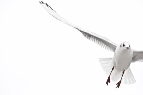 Black headed gull.jpg
