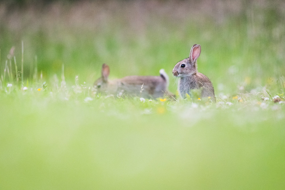 Rabbits 1500px  7.jpg