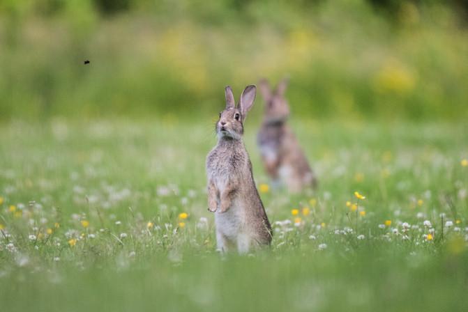 Rabbits 1500px  4.jpg