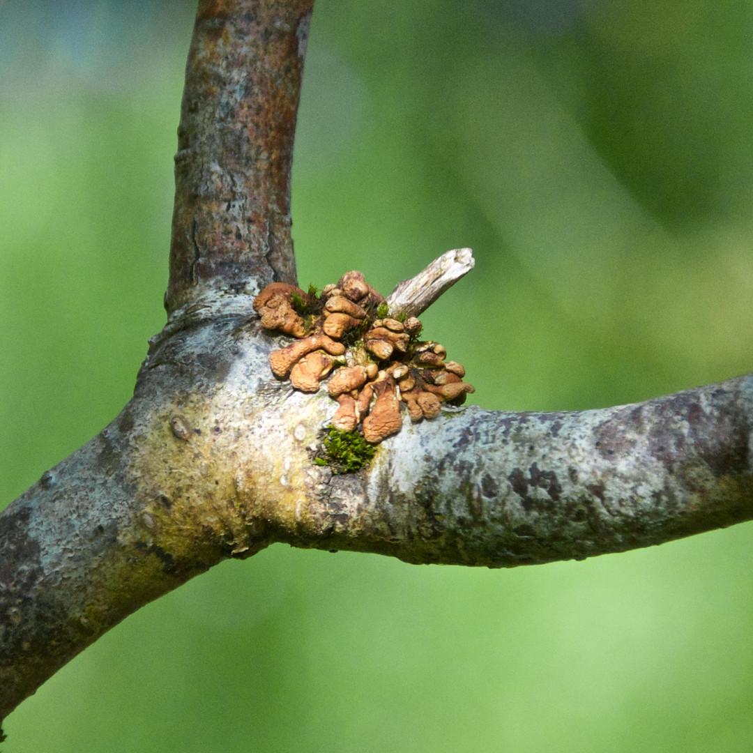 Hazel Gloves Fungus SWT Ballachuan Wood