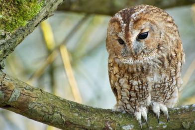 Tawny_Owl_Doug_Shapley2.jpg