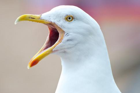 Herring Gull.jpg