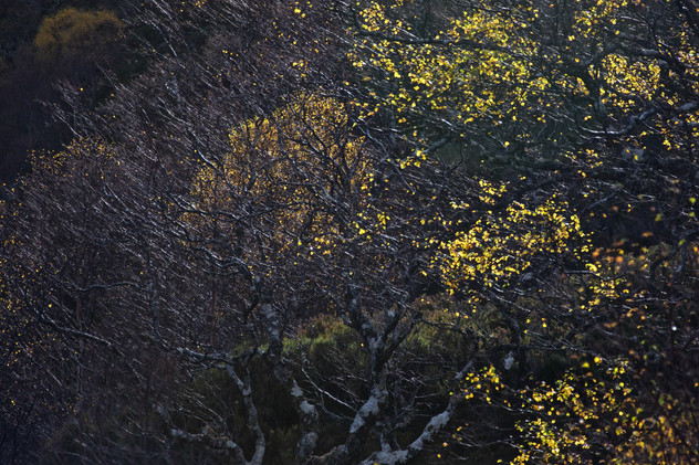 Beinn Eighe Birch (1).jpg