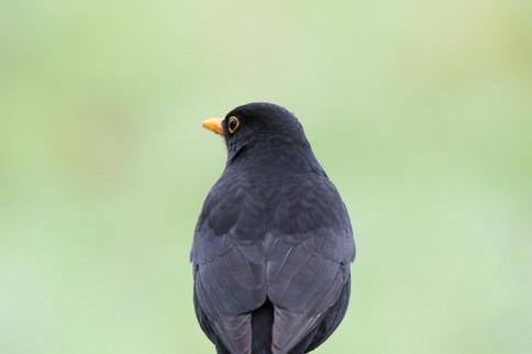 Blackbird Feb 2018.jpg