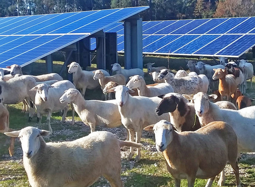 C2 Energy Capital Scales Up Solar Sheep Program And Drives Down O&M Costs