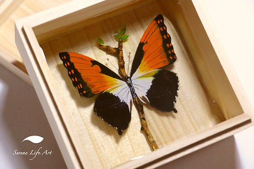 Charaxes Butterfly | 3D Resin Painting