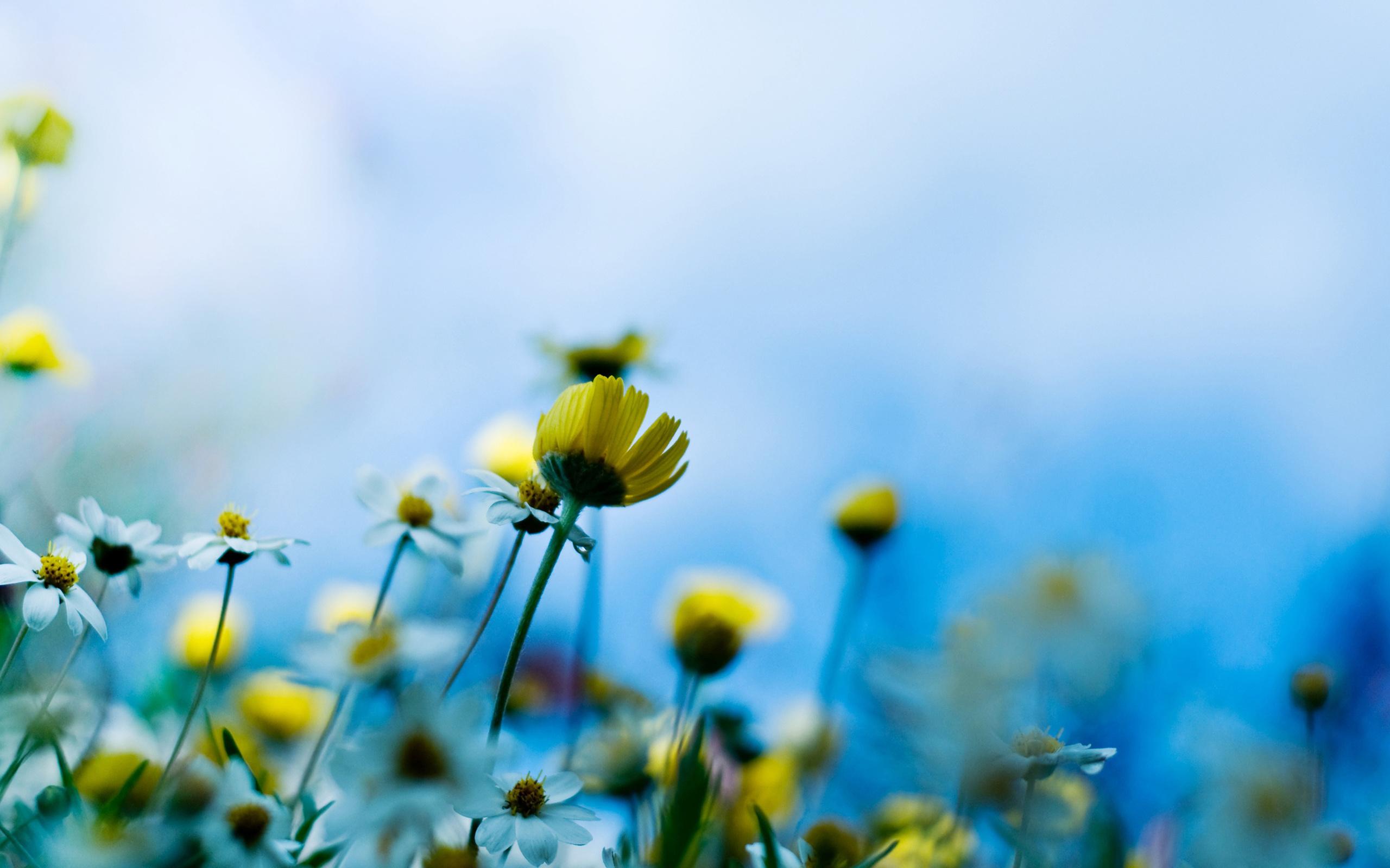 578999-chamomile-field