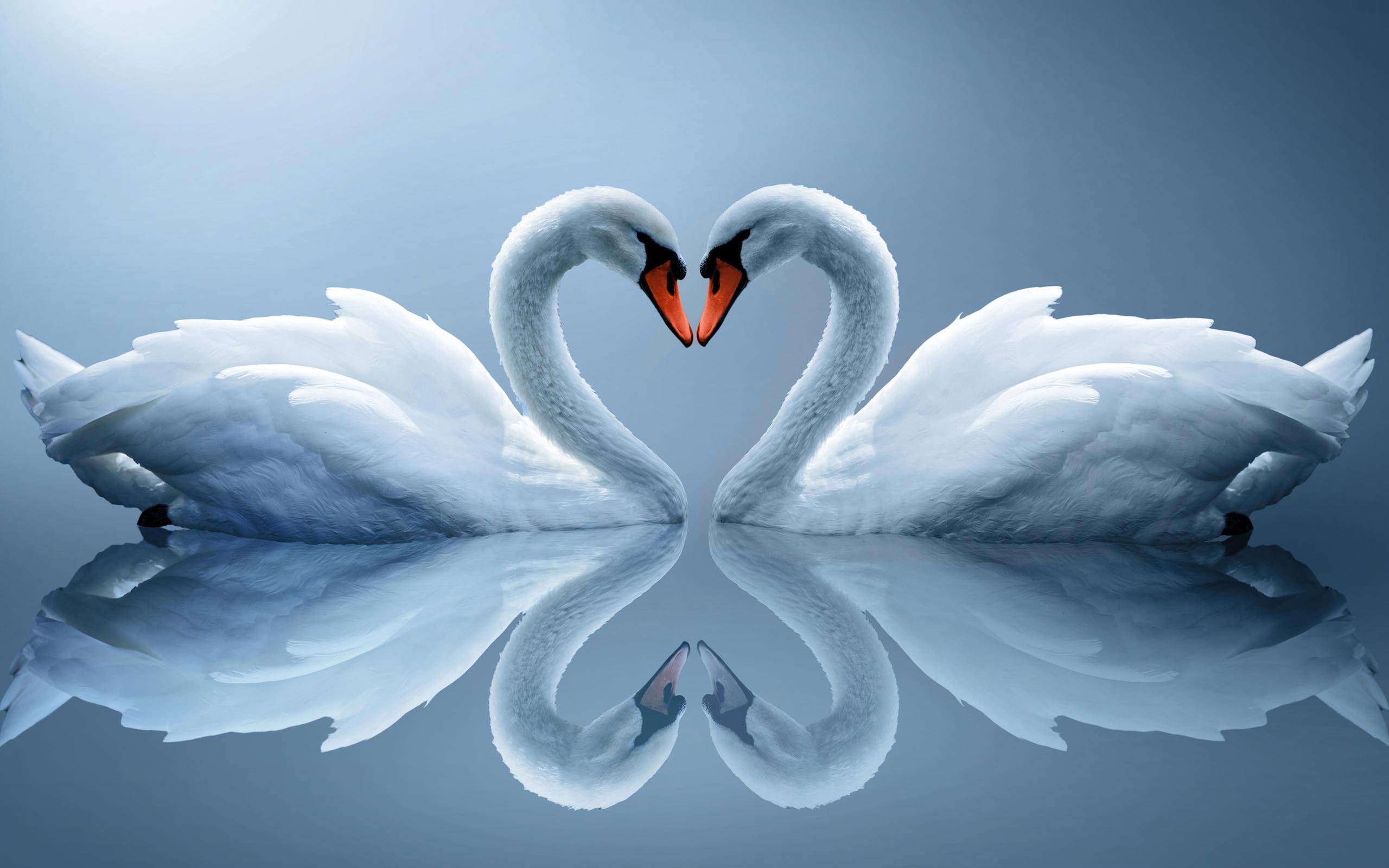 578718-swan-wallpaper