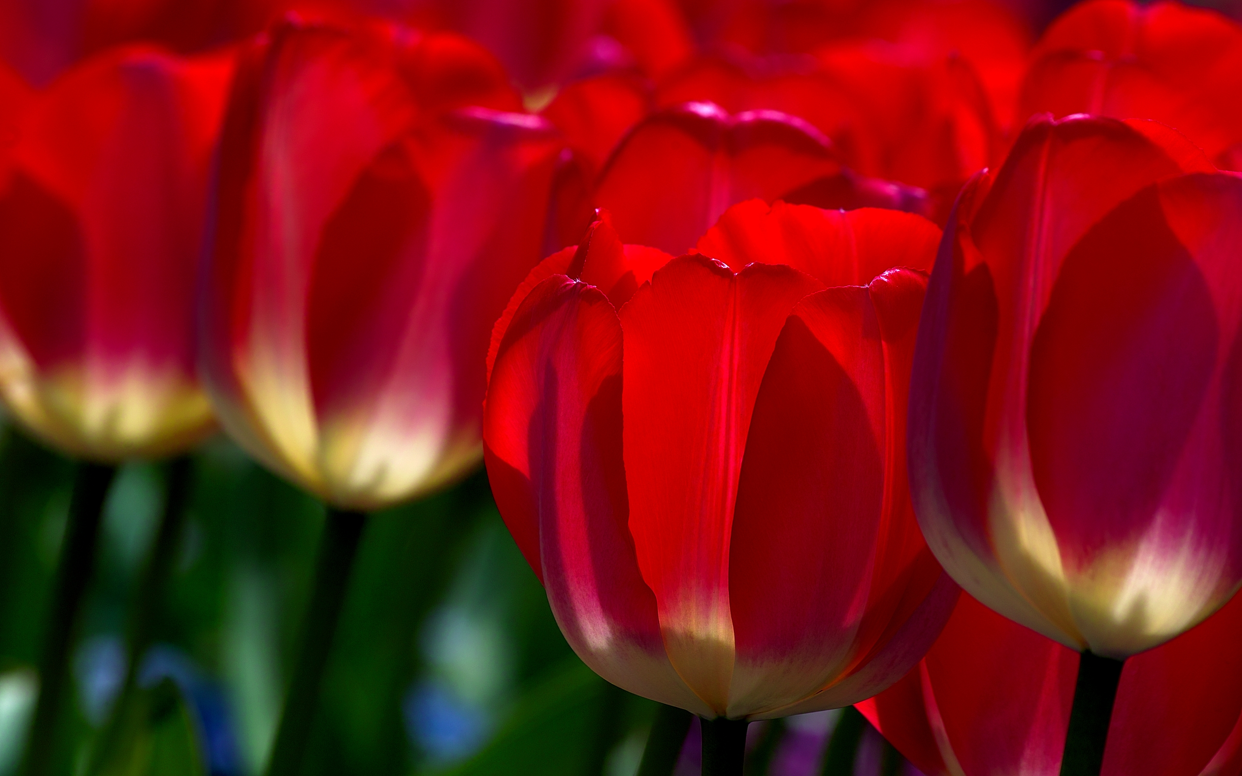 649105-red-tulips-in-the-field