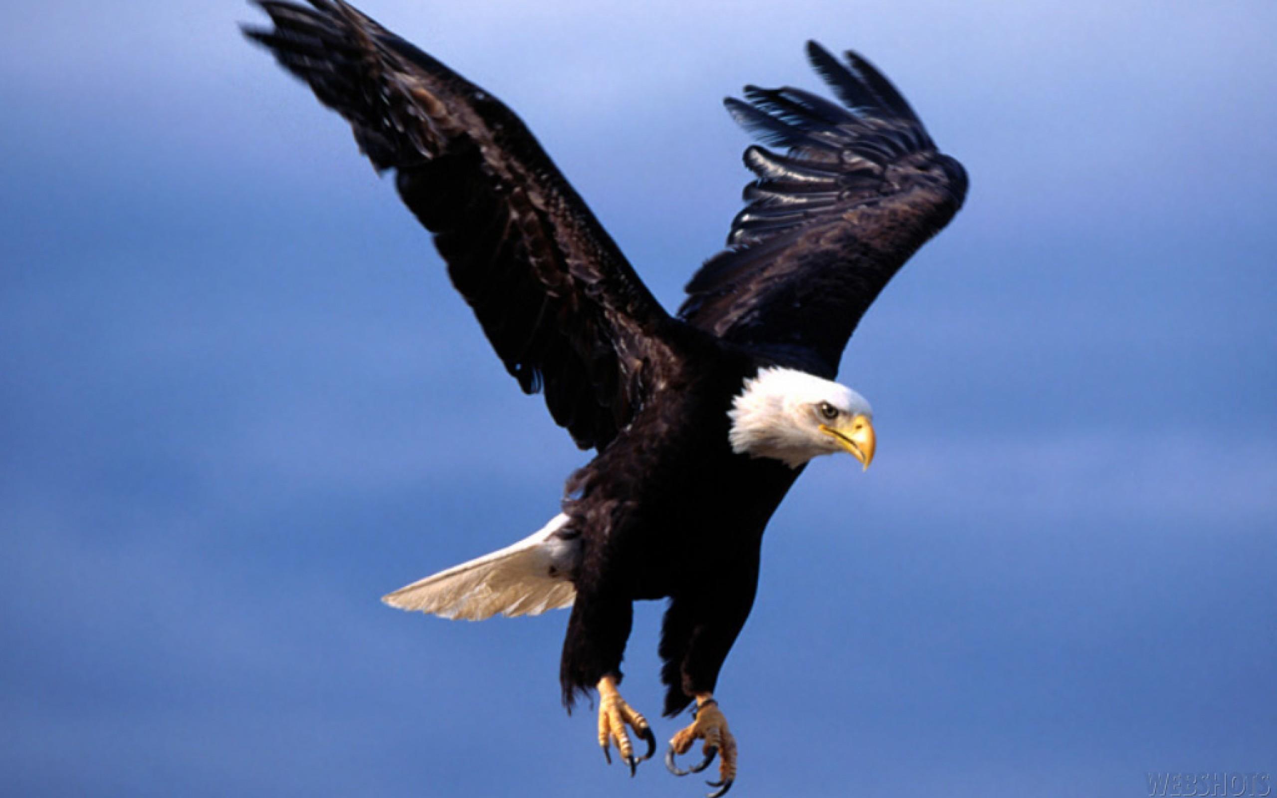 610167-bald-eagle-in-flying
