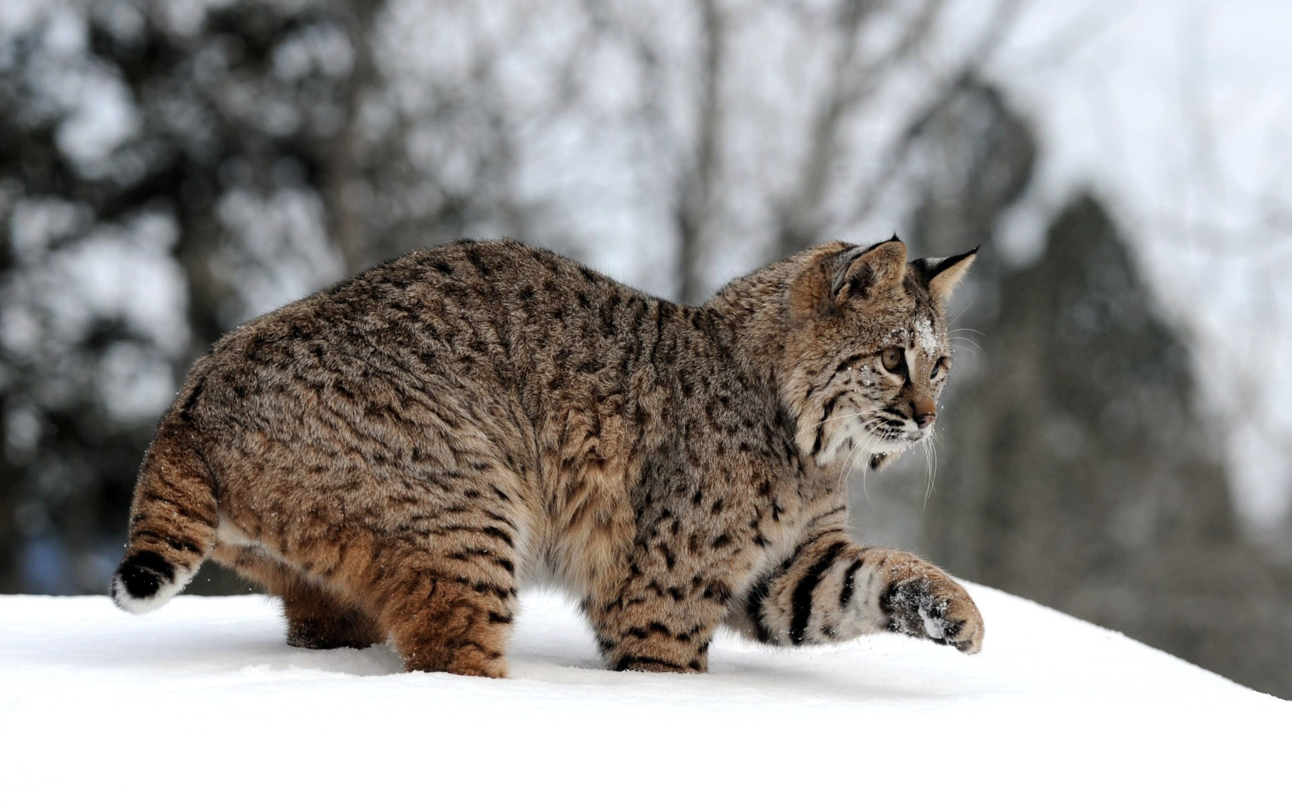 631975-lynx-picture