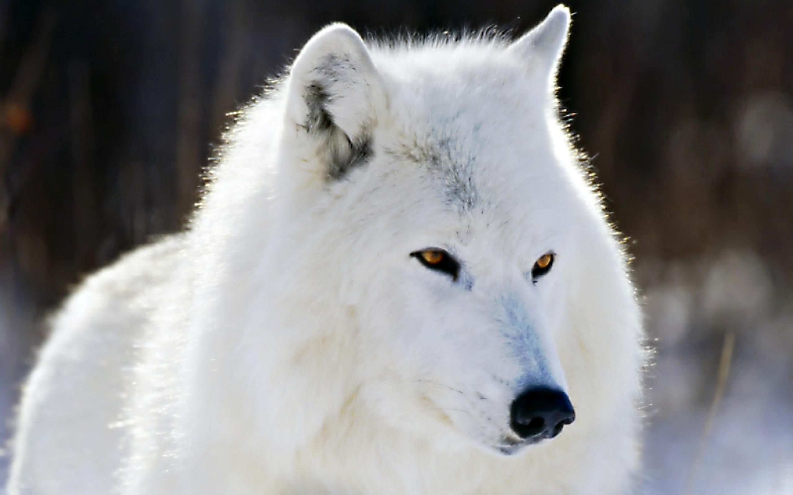 586889-big-white-arctic-wolf