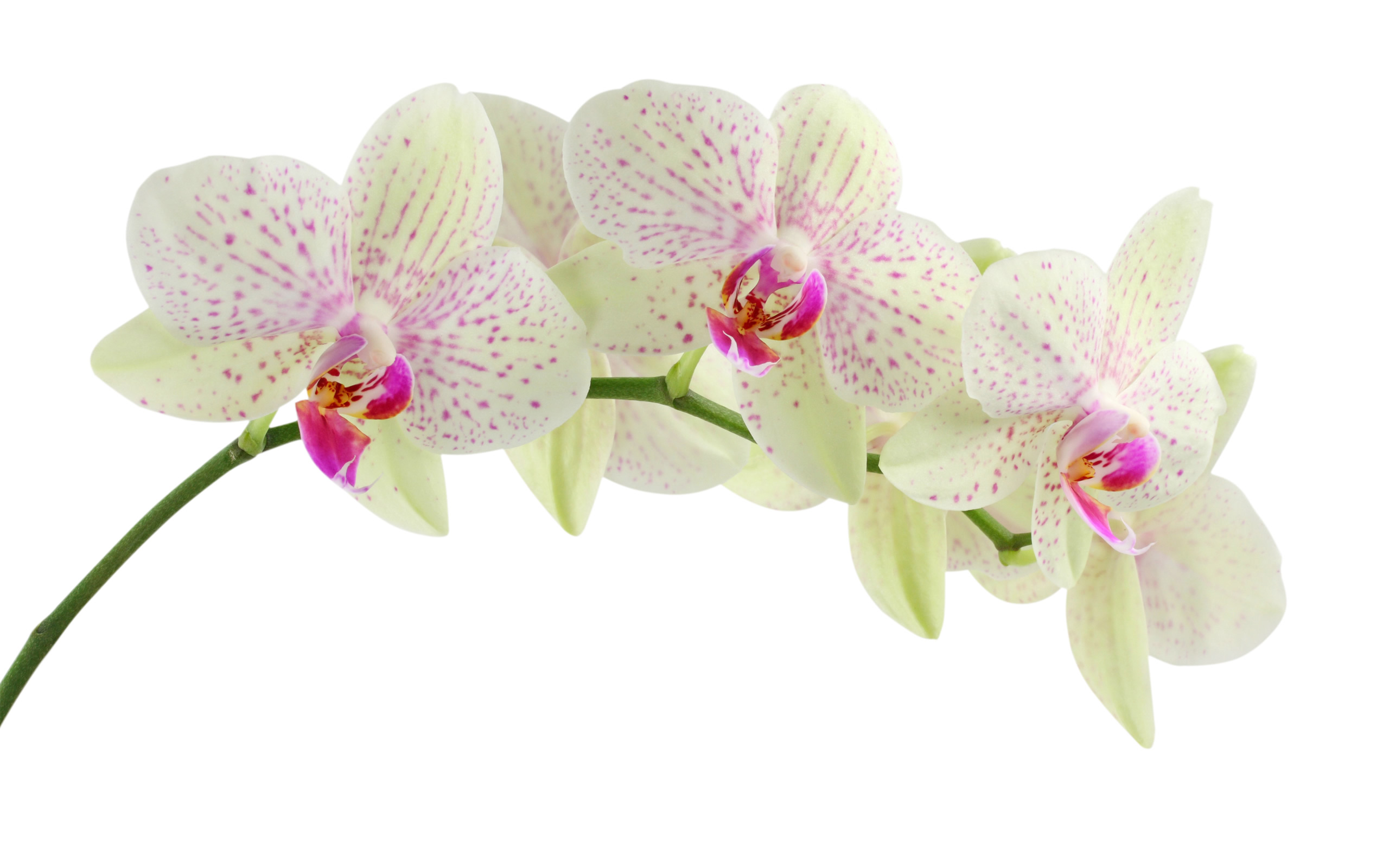 666744-pinl-and-white-orchid