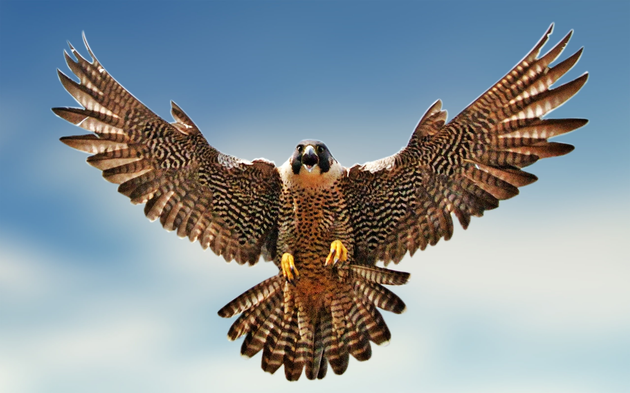 608054-brown-falcon-in-flying