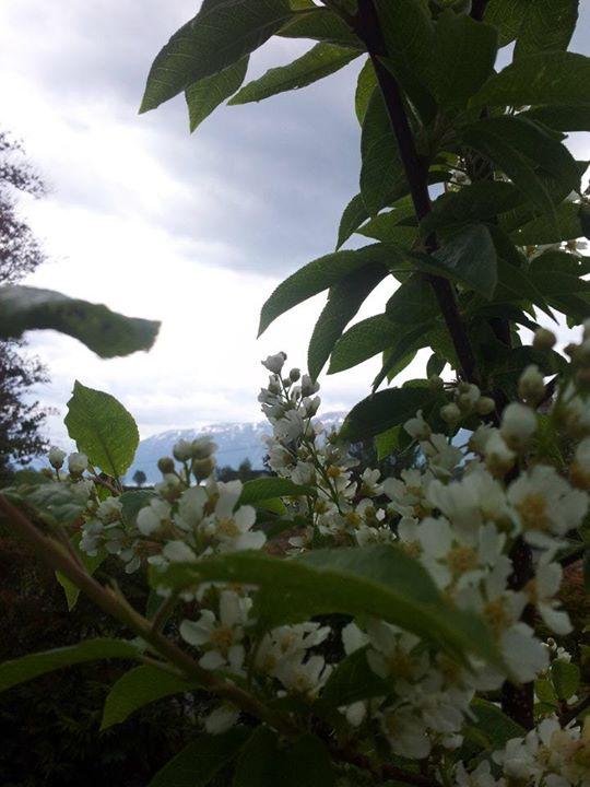 .jpg.jpg.jpg.jpgog heggen blomstrer og sprer sin søte duft som den alltid har gjort.jpg.jpg.jpg