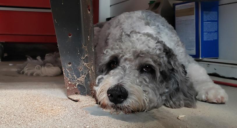 Nikita, best shop dog ever!