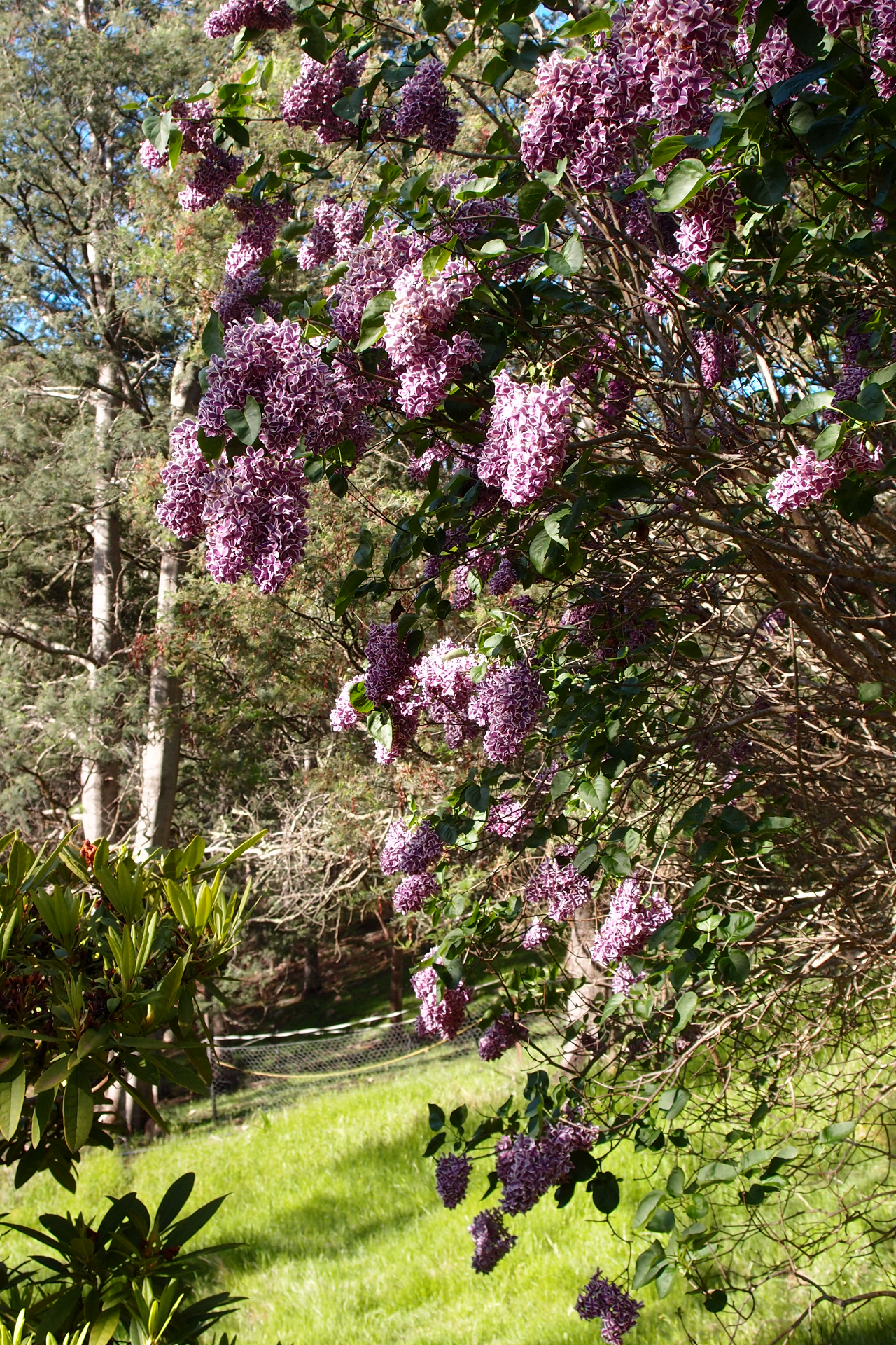 Our Stunning Lilac Tree