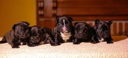 Ambers puppies2.jpg