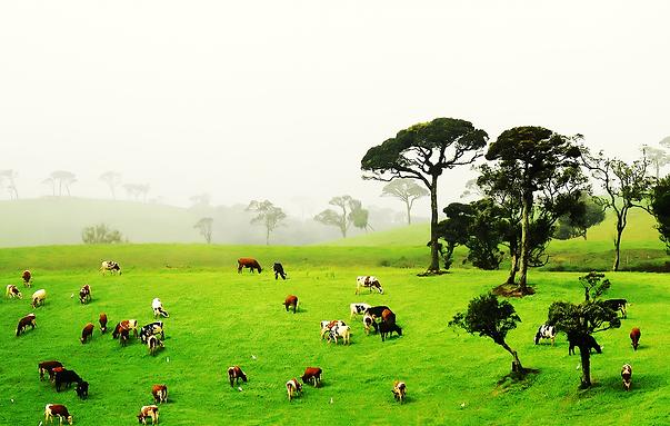 Ambewela Farm.png