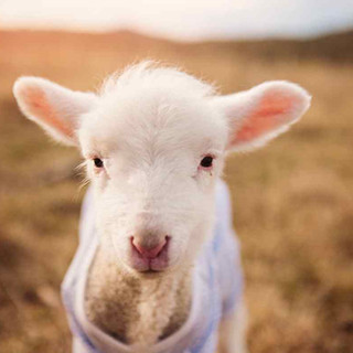 Lambing Season Argoed Farm