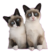 Snowshoe Cats - wimski snowshoes australia