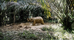 Relationship between the elephant and oil palm