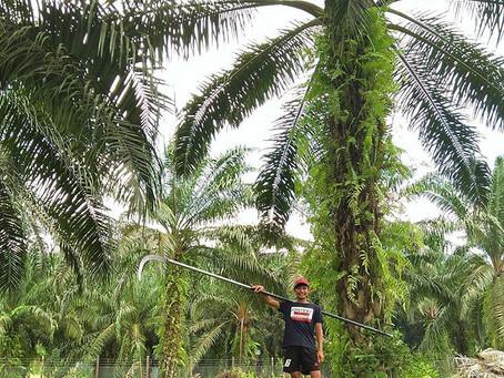 Mohd Hairael Jimlee, Chairman of CSPOC (Certified Sustainable Palm Oil Committee) Sangau Village, Ki