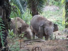 Elephants and oil palm