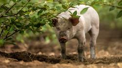 Bovbjerg Økologi_gris i poppeltræer