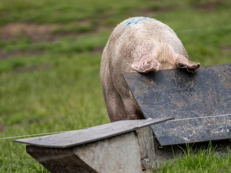 Er der brug for søer med ny genetik i dansk økologisk svineproduktion?