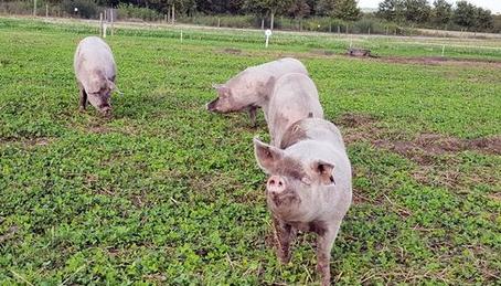 Topigs Norsvin - afkom med god kødprocent
