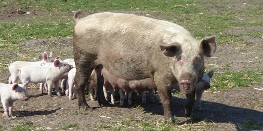 Økologiske svineproducenter kan med fordel skifte genetik