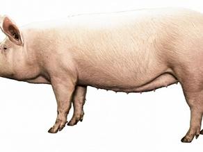 Topigs Norsvin TN70: Fremtidens gris